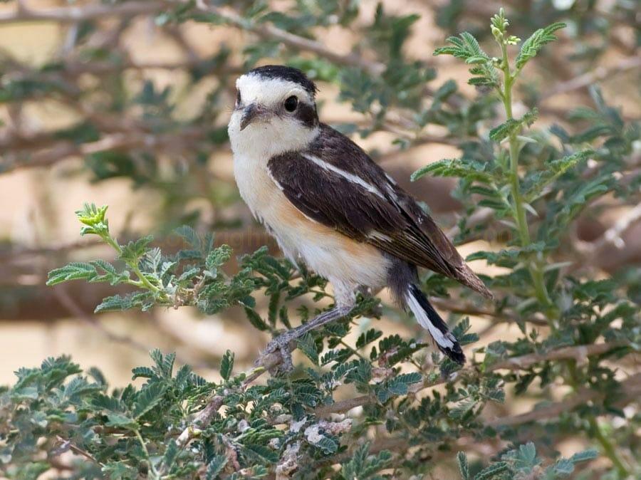 Masked Shrike Lanius nubicus