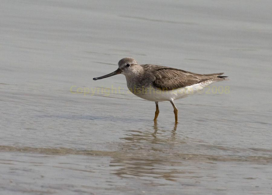 Terek Sandpiper running on sea mud
