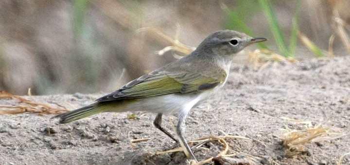Eastern Bonelli's Warbler on a rock