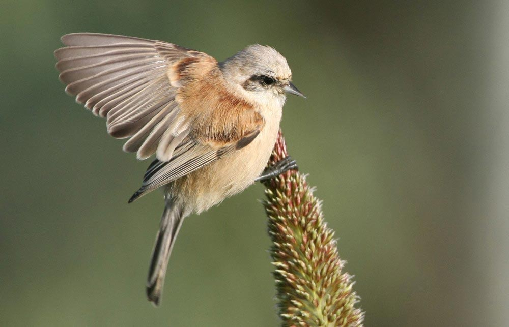 Eurasian Penduline Tit on a maize seeds