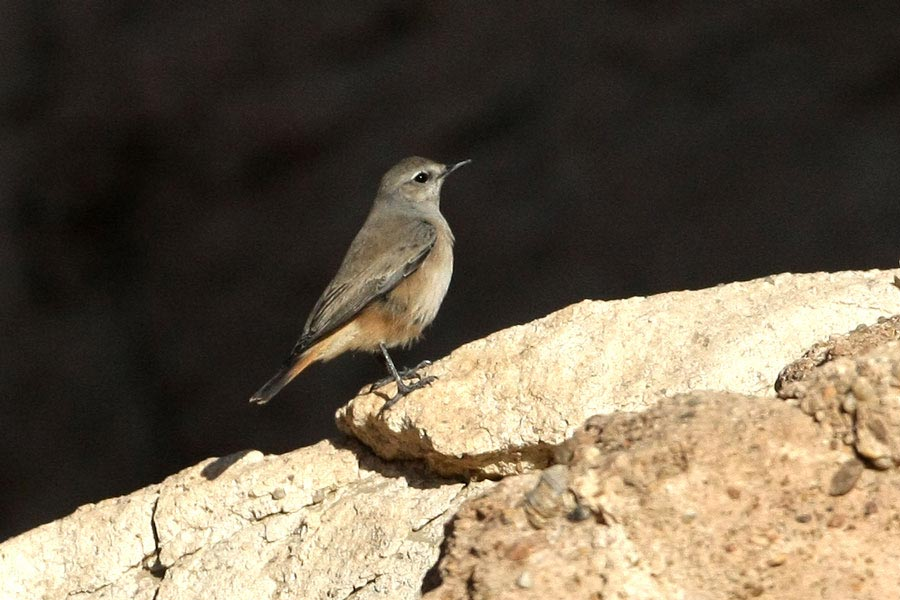 Red-tailed Wheatear on a rock
