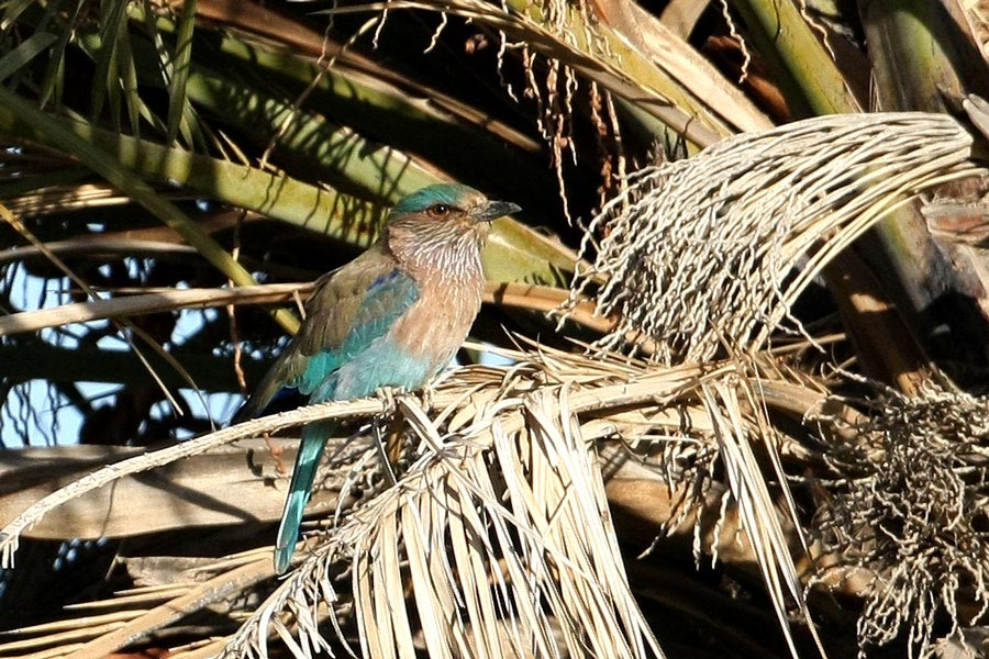 Indian Roller perching on a palm tree