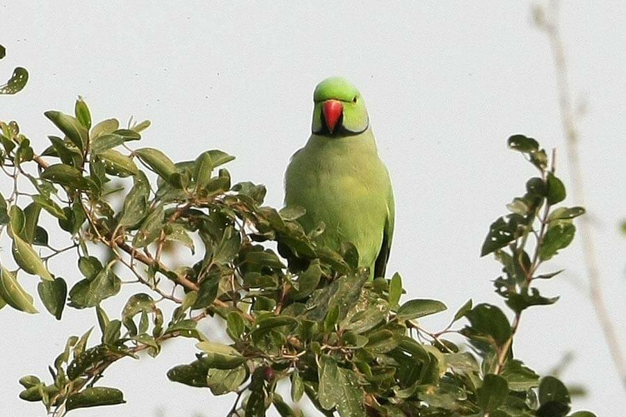 Rose-ringed Parakeet on a tree