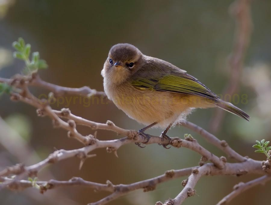 Brown Woodland Warbler on a branch of a tree