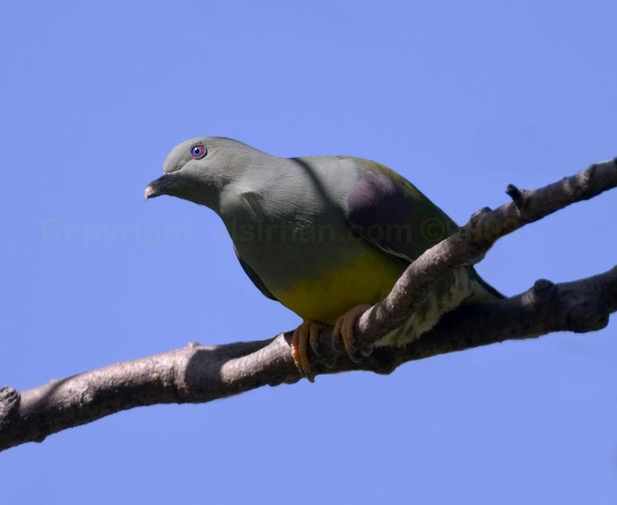 Bruce's Green Pigeon perching on a branch