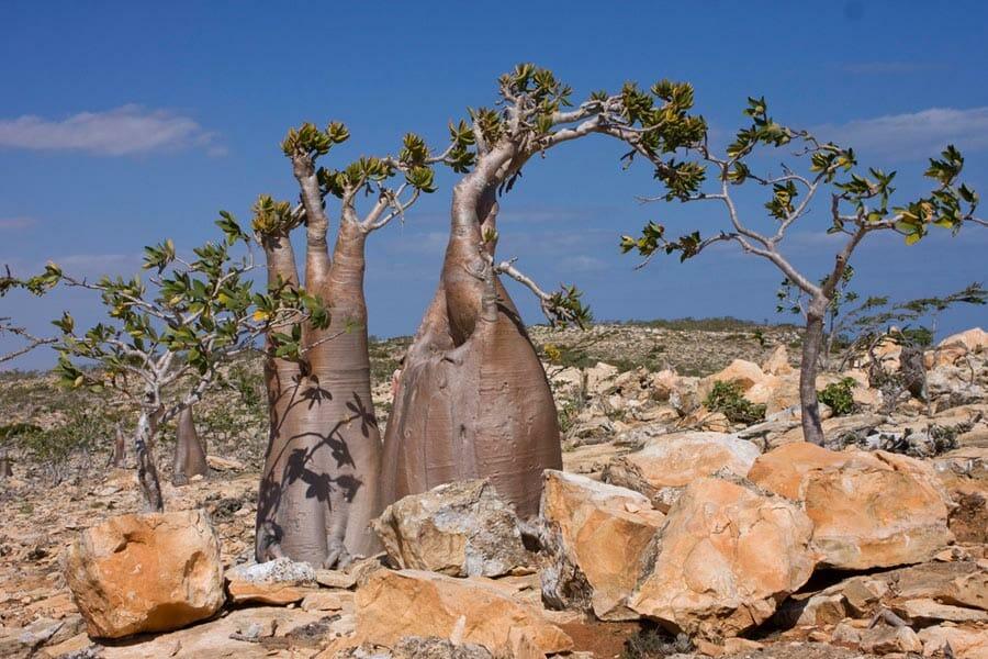 Desert Rose Tree Adenium obesum in Socotra