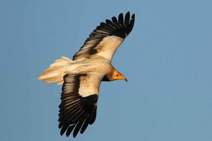 Egyptian Vulture  in flight