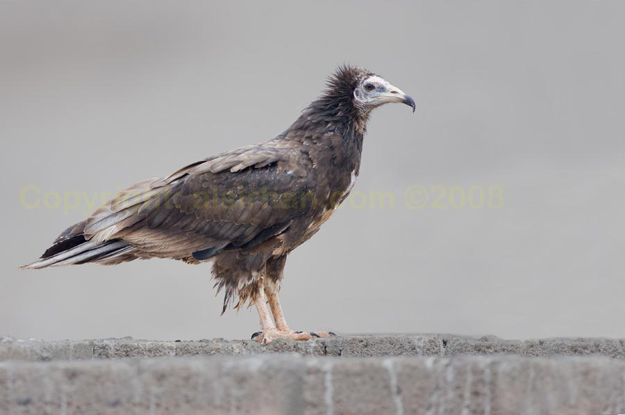 Egyptian Vulture standing on a wall