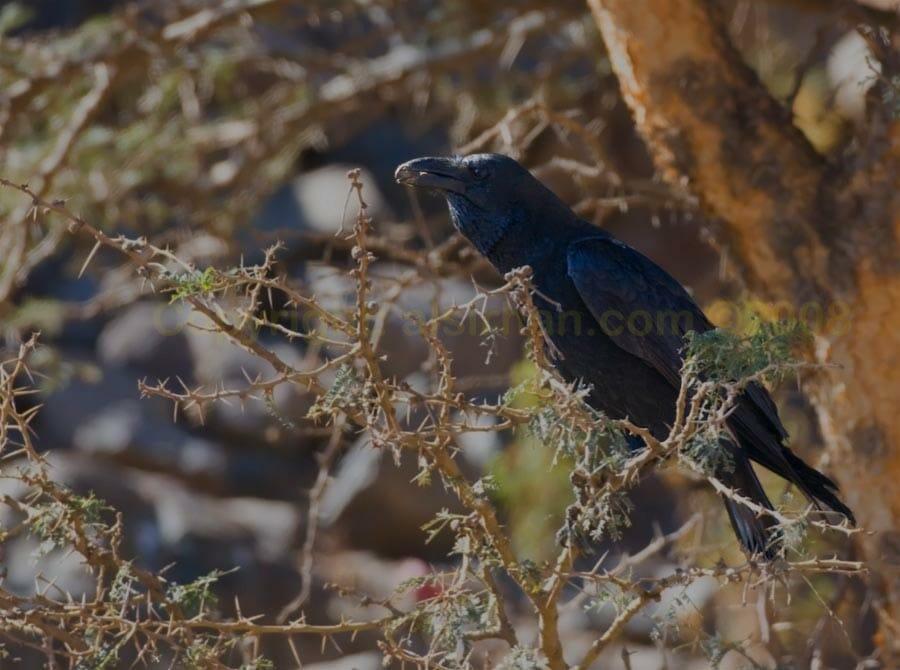 Fan-tailed Raven on a tree
