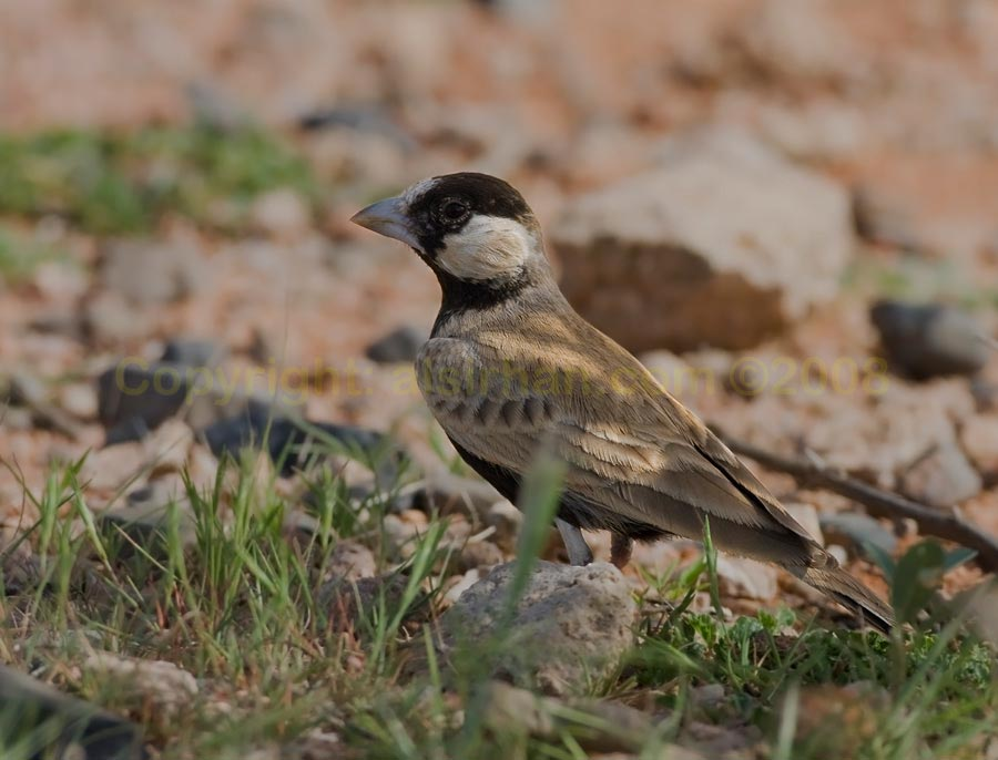 Black-crowned Sparrow-Lark  perching on the ground
