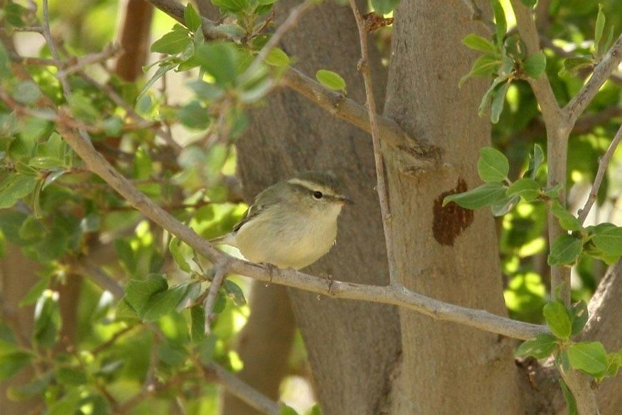 Hume's Leaf Warbler on a tree