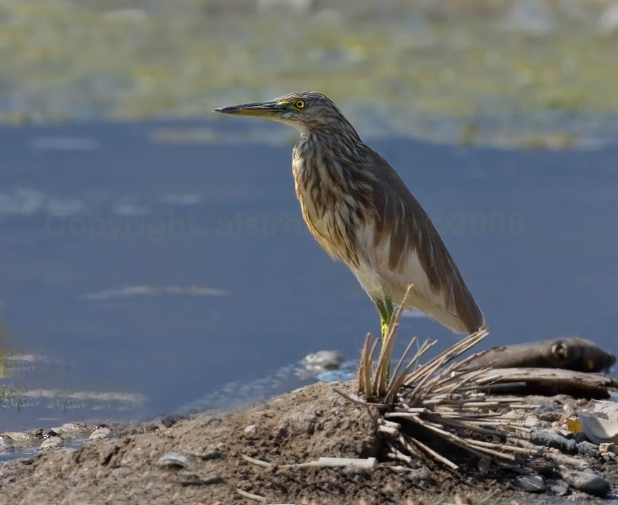 Indian Pond Heron standing on ground