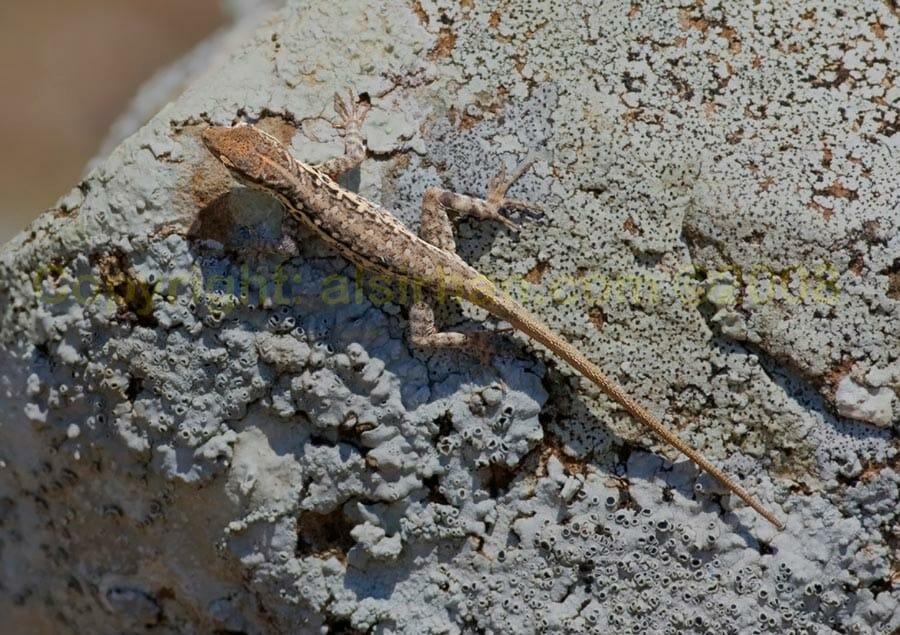 Pristurus species on a rock