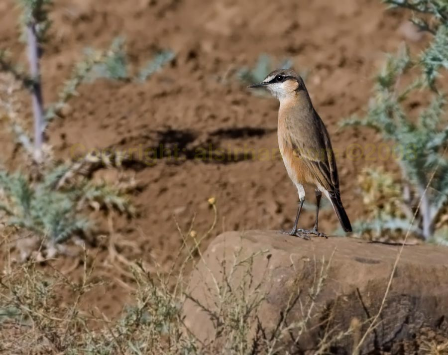 Red-breasted Wheatear Oenanthe bottae perching on a rock