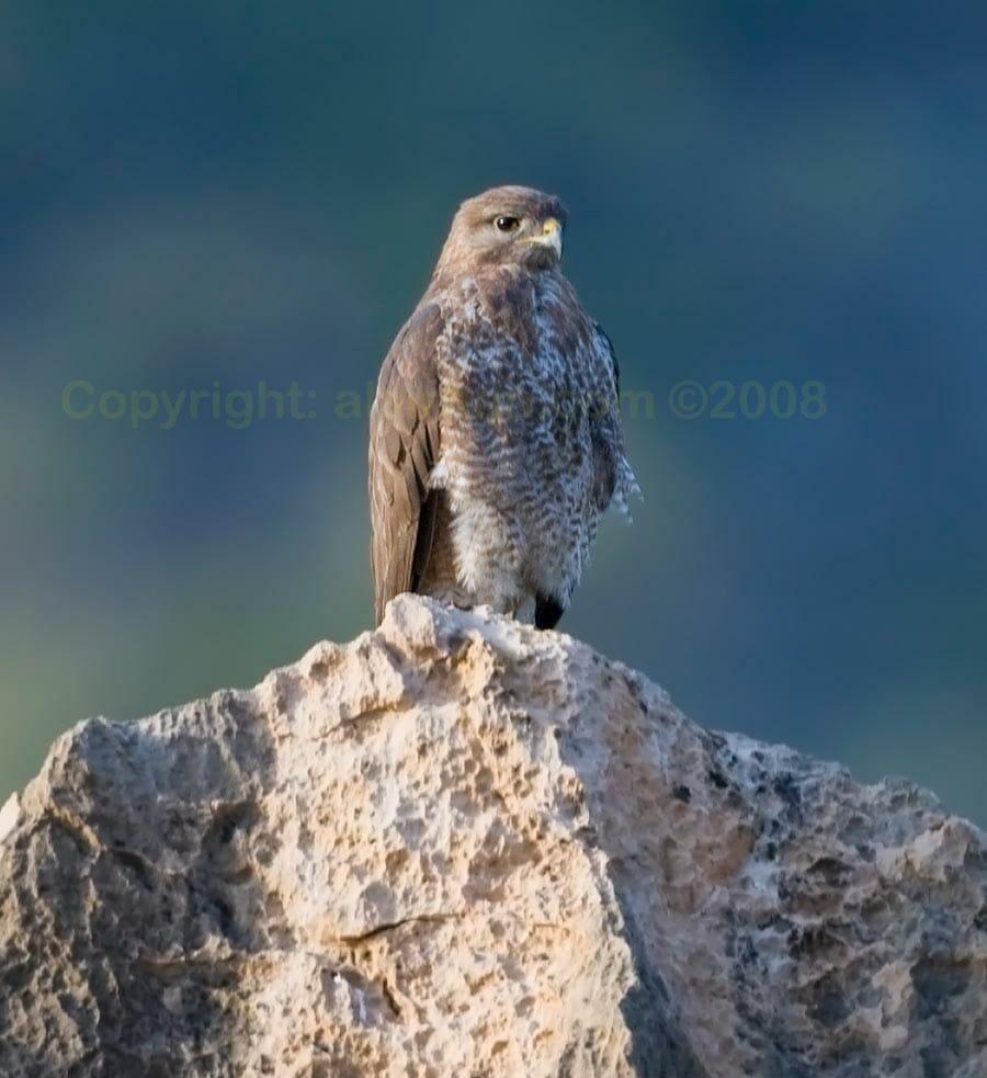 Socotra Buzzard perching on a rock