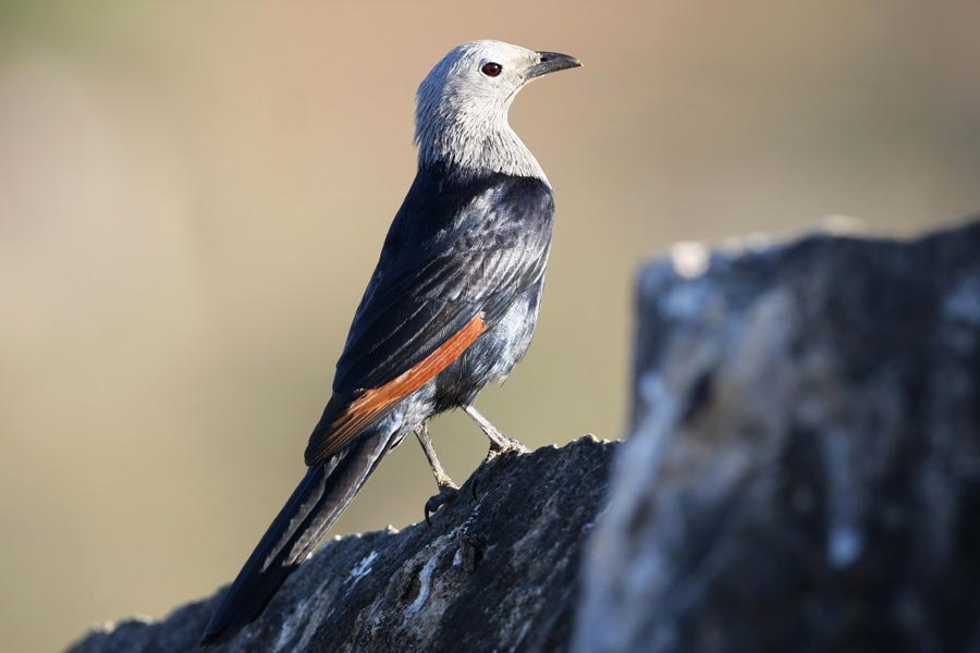 Somali Starling on a rock