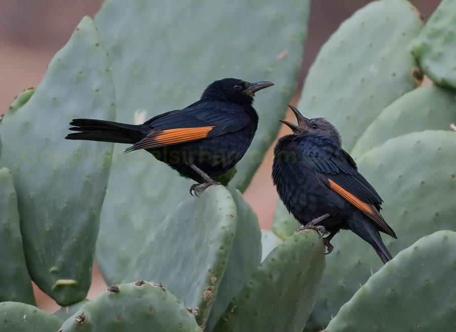 Tristram's Starling feeding young