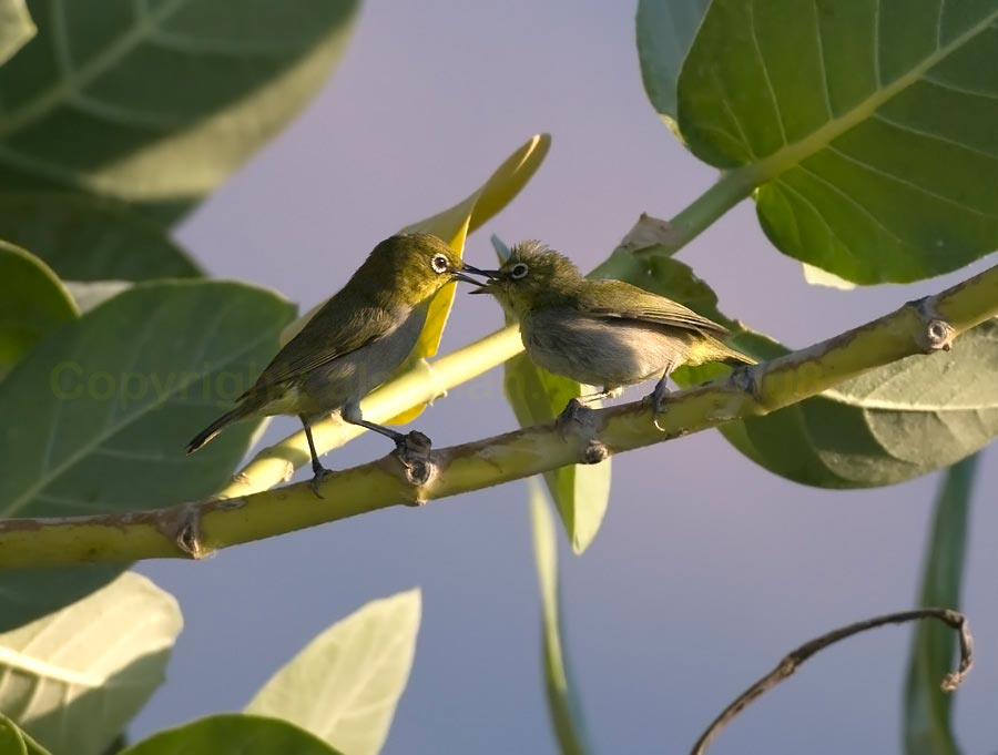 Two Arabian White-eyes in courtship