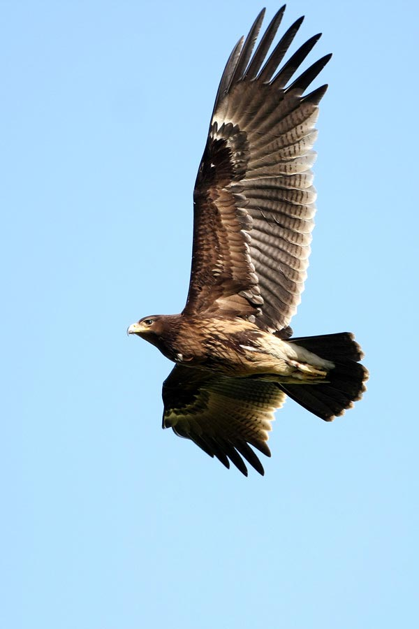 Greater Spotted Eagle in flight