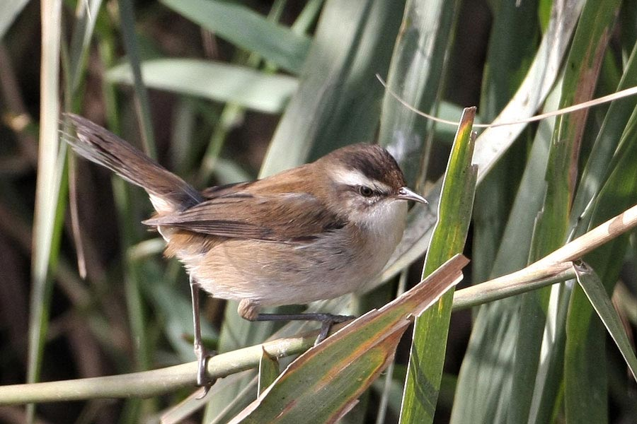 Moustached Warbler on a reed stems