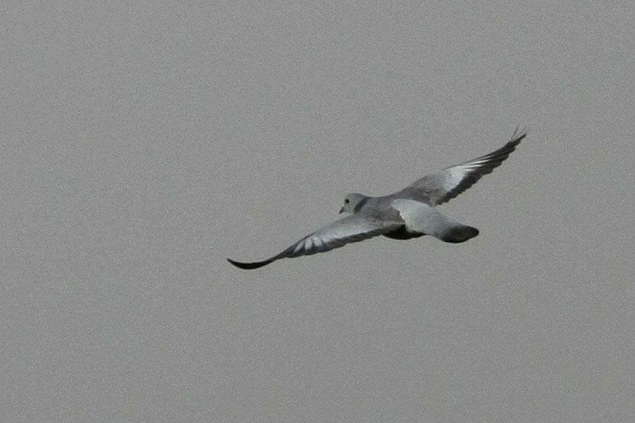 Stock Dove in flight
