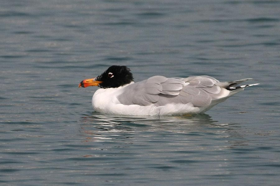 /kuwait-birds-1/great-black-headed-gull swimming on water