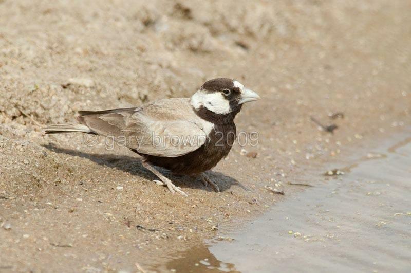 Black-crowned Sparrow-Lark on ground