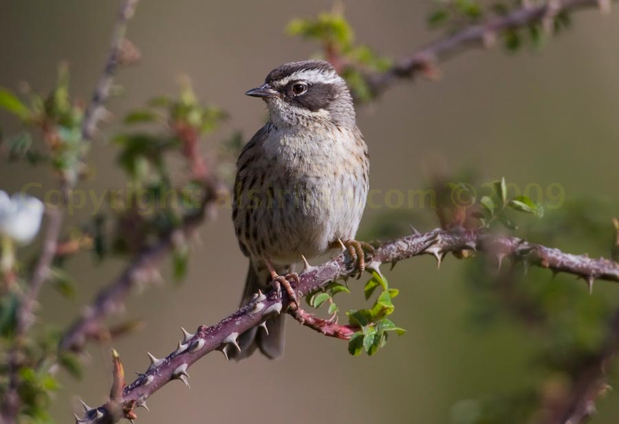 Arabian Accentor perched on a branch