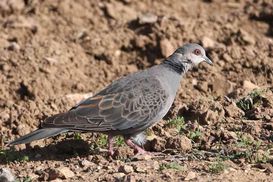 Dusky Turtle Dove standing on the ground