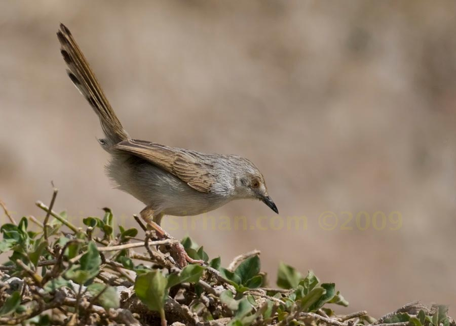 Graceful Prinia perched on a bush