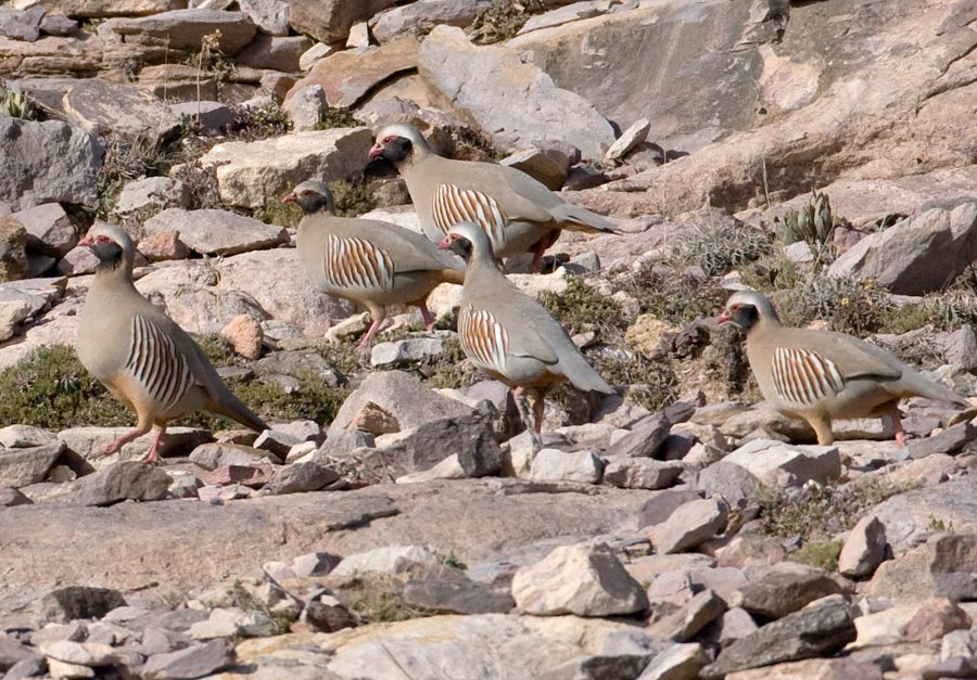 Five Philby's Partridges perched on the ground