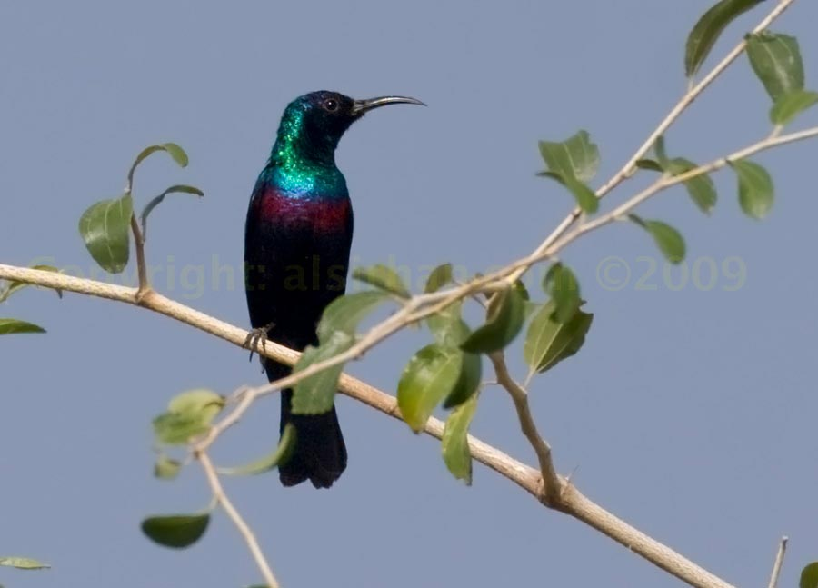 Shining Sunbird perched on a branch