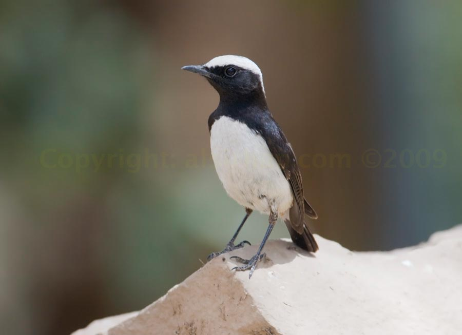 Arabian Wheatear perching on a rock