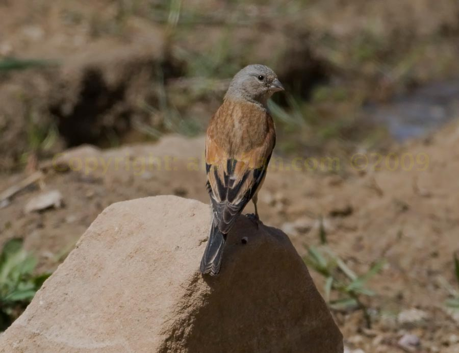 Yemen Linnet perched on a rock