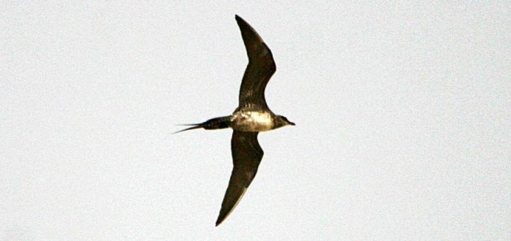 Long-tailed Jaeger (Skua) flying