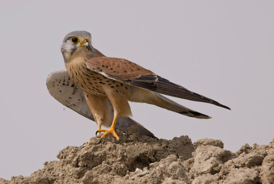 Common Kestrel perching on a mound