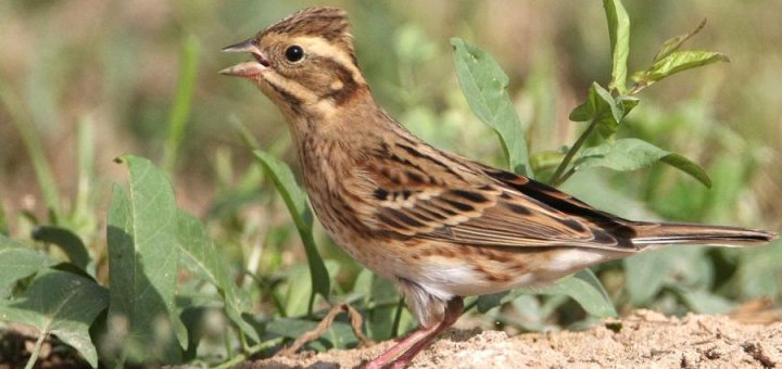 Rustic Bunting standing on the ground