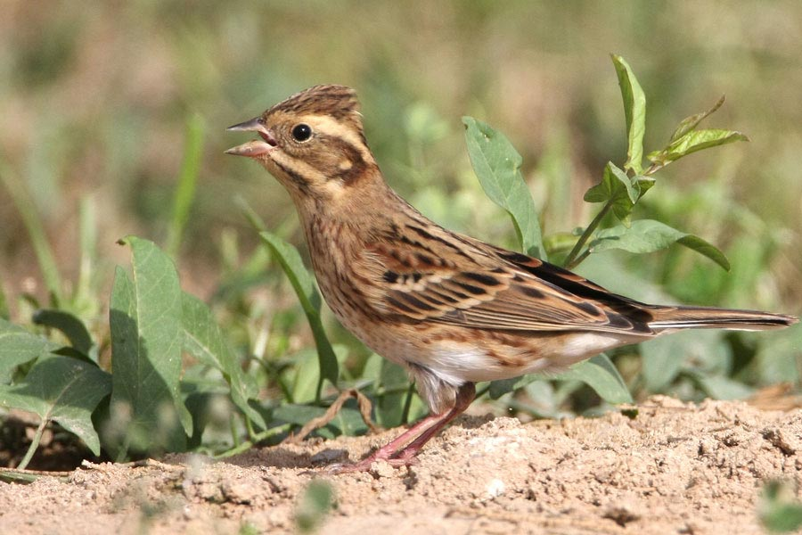 Rustic Bunting on a mound