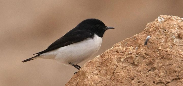 Hume's Wheatear perched on a mound