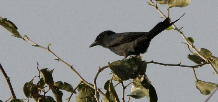 Ashy Drongo perched on a tree