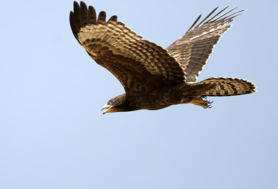 Crested Honey Buzzard (Pernis ptilorhynchus)
