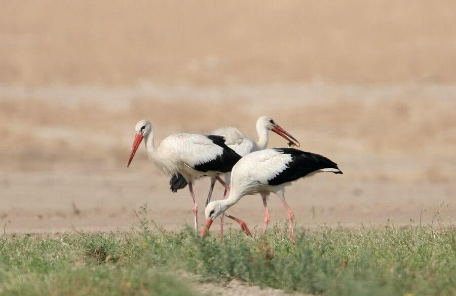 White Storks feeding on ground