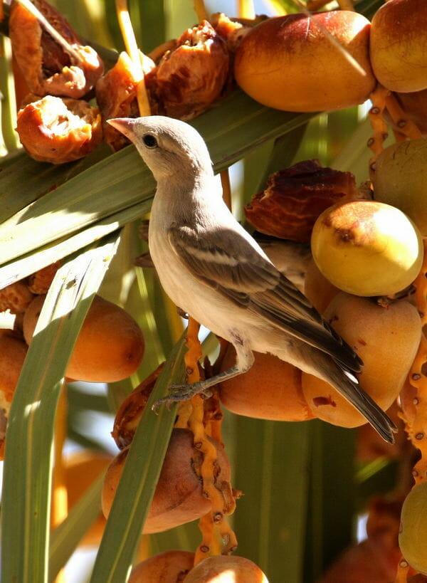 Yellow-throated Sparrow feeding on dates