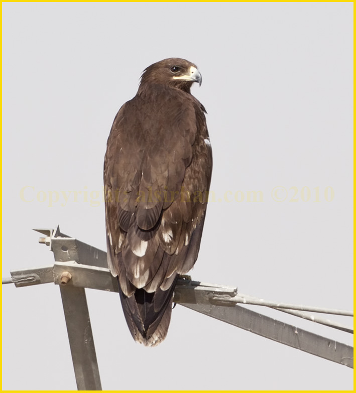 Greater Spotted Eagle Aquila clanga in juvenile plumage