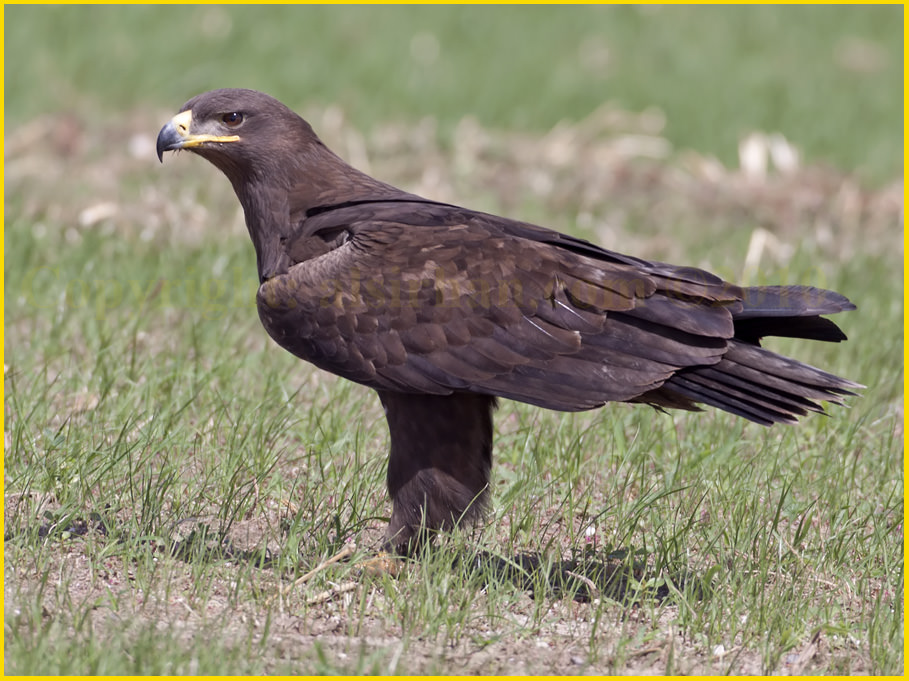 Steppe Eagle Aquila nipalensis an adult with a buff-brown nape patch (not seen in this photograph)