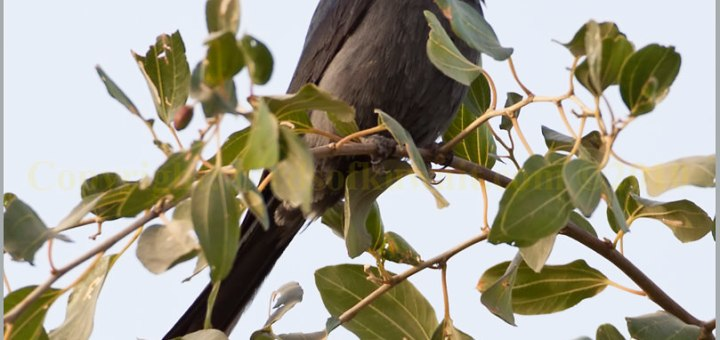 Ashy Drongo perched on top of a tree