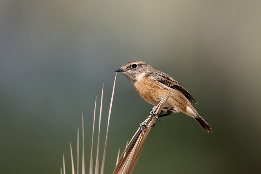 European Stonechat perched on a branch of a tree