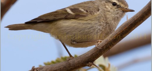 Hume's Leaf Warbler Phylloscopus humei