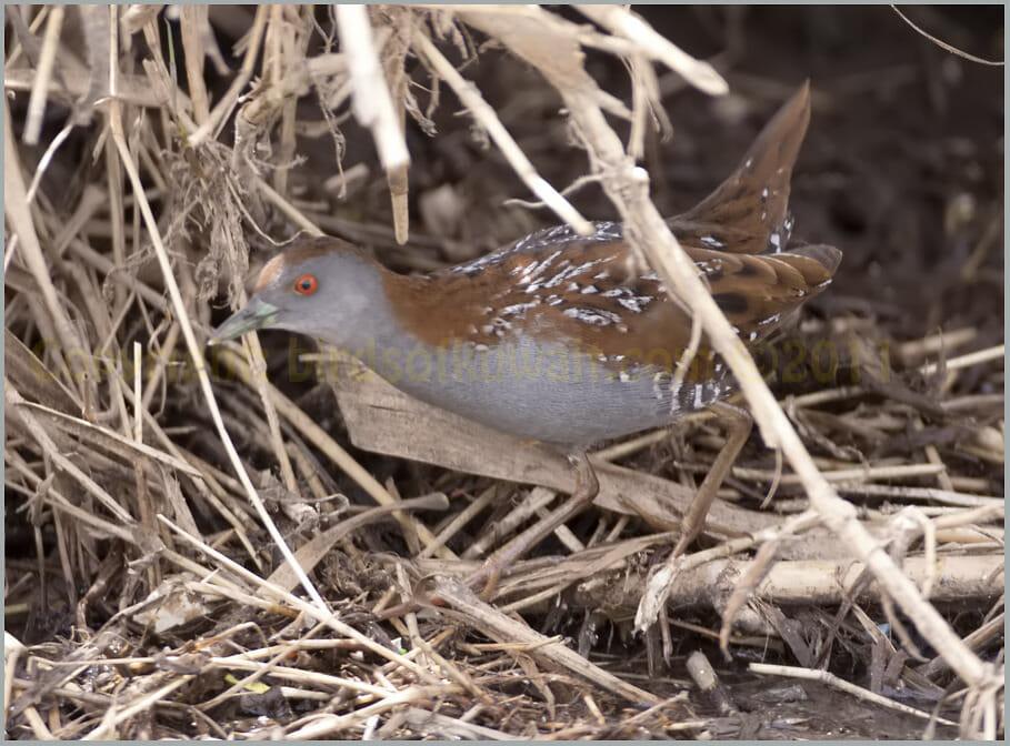 Baillon's Crake perching on reeds