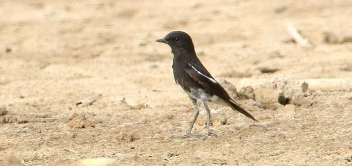 Pied Bush Chat standing on the ground